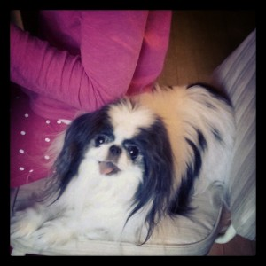 Mr Bo, the best Japanese Chin